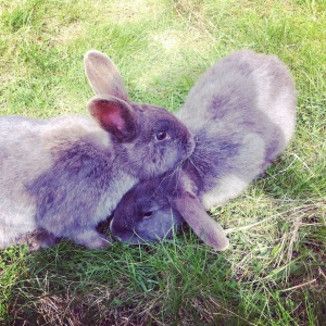 Poppy (sticky up ears) and Rex (lop ears) - Love digging 6 foot tunnels in the garden!